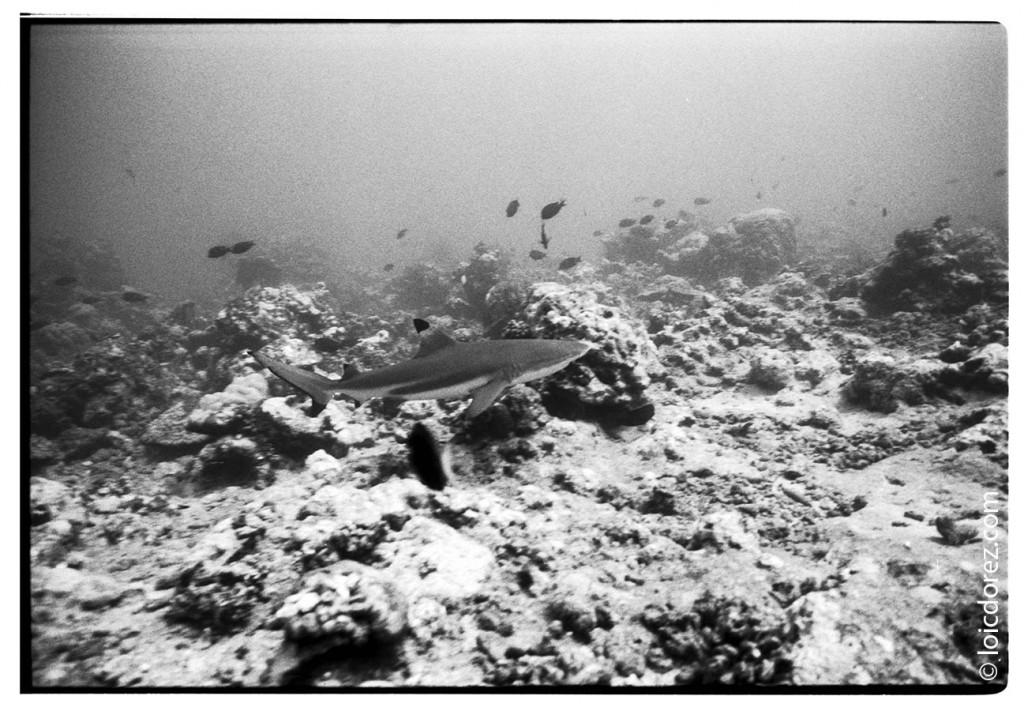 Tahiti sharks